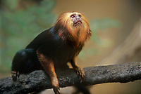 680083003 a captive golden rumped tamarin leontopithecus chrysopygus sits on a log perch in its enclosure at an aaza accredited facility - species is restricted to declining isolated populations in sao palo state in brazil and is listed as endangered by iucn
