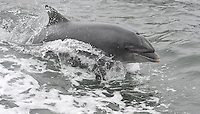 Fungie The Dingle Dolphin shows he is not slowing down and is as energetic as ever as he  celebrates 30 years in Dingle Harbour this weekend..Picture by Don MacMonagle