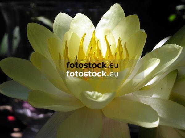 close-up of a blooming yellow water lily bloom<br /> <br /> detalle de una nen&uacute;far amarilla en flor<br /> <br /> Nahaufnahme einer bl&uuml;henden gelben Seerosenbl&uuml;te<br /> <br /> 2272 x 1704 px<br /> 150 dpi: 38,47 x 28,85 cm<br /> 300 dpi: 19,24 x 14,43 cm