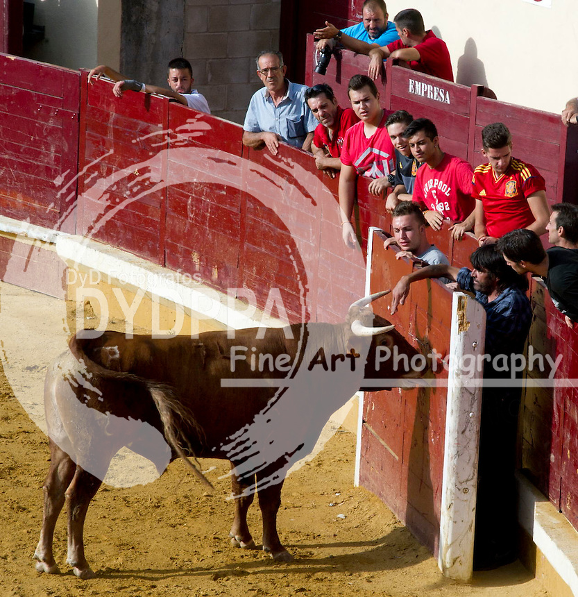 After some bulls have been released in the Plaza de Toros for the village lads make some cuts and play with the heifers