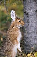 Snowshoe hare, summer, Denali National Park, Alaska