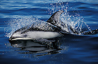 ks3242. Pacific White-sided Dolphin (Lagenorhynchus obliquidens). British Columbia, Canada, Pacific Ocean..Photo Copyright © Brandon Cole.  All rights reserved worldwide.  www.brandoncole.com..This photo is NOT free. It is NOT in the public domain...Rights to reproduction of photograph granted only upon payment of invoice in full.  Any use whatsoever prior to such payment will be considered an infringement of copyright...Brandon Cole.Marine Photography.http://www.brandoncole.com.email: brandoncole@msn.com.4917 N. Boeing Rd..Spokane Valley, WA 99206   USA..tel: 509-535-3489