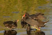 559500020 common gallinules gallinula galeata or common moorhens gallinula chloropus wild texas.Adult Feeding Chick.Anahuac National Wildlife Refuge, Texas