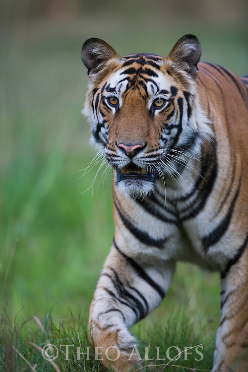 Male Bengal tiger (Panthera tigris) walking in green meadow, close-up, dry season, April
