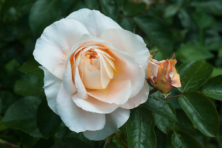 Rosa Chandos Beauty ('Harmisty'), late June. A Hybrid Tea rose with apricot-pink flowers. From Harkness Roses.