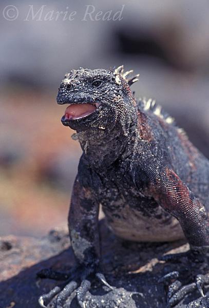 Gal&aacute;pagos Marine Iguana (Amblyrhynchus cristatus), Fernandina Island, Gal&aacute;pagos Islands, Ecuador.<br /> Slide # R2-13