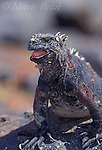 Galápagos Marine Iguana (Amblyrhynchus cristatus), Fernandina Island, Galápagos Islands, Ecuador.<br /> Slide # R2-13