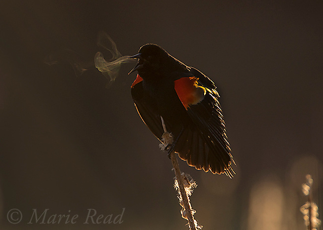 Red-winged Blackbird (Agelaius phoeniceus) male calling and displaying, with condensing breath made visible by backlighting, Ithaca, New York, USA