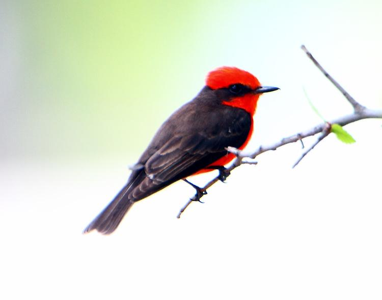 Adult male vermilion flycatcher