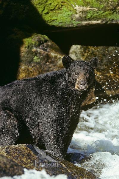 Black bear (Ursus americanus) sitting beside stream where it is fishing for salmon.
