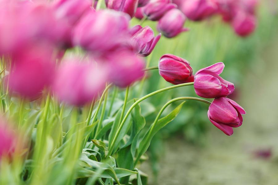 Bent over purple tulips, Skagit Valley, Washington, USA