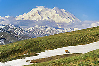 Grizzly bear walks across a snow patch in the tundra with Denali in the distance, Denali National Park, Alaska