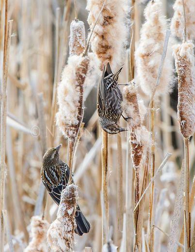 Female Red-winged Blackbirds feeding on cattail seeds in spring at the Lee Metcalf National Wildlife Refuge in western Montana
