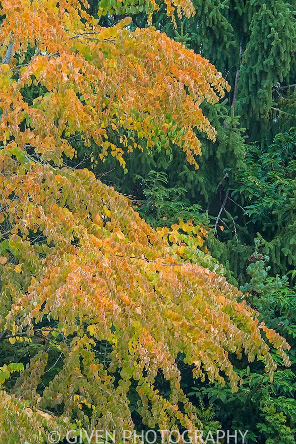 Katsura Tree in autumn