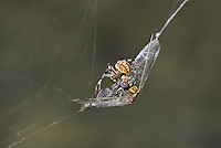 389030005 a wild male gray sanddragon progomphus borealis is trapped in an orb weaver possibly neoscona web  near a small hot springs in inyo county california