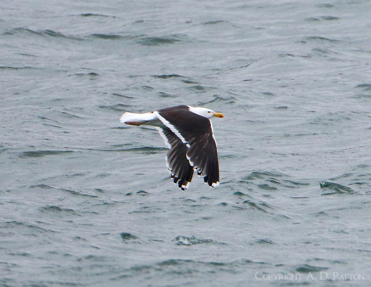 Adult great black-backed gull flying