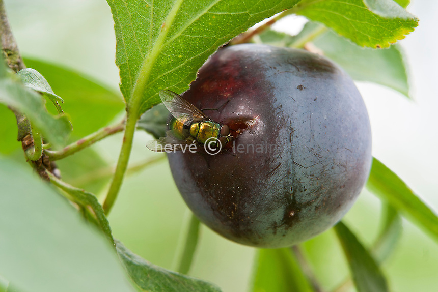prune blessée et insecte // Hurt plum and insect.