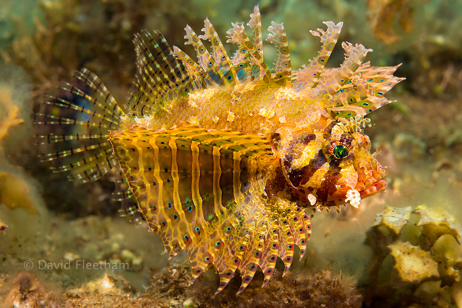 The dwarf lionfish, Dendrochirus brachypterus, is also known as the shortfin lionfish or shortfin turkeyfish. This species has many color variations. Philippines.