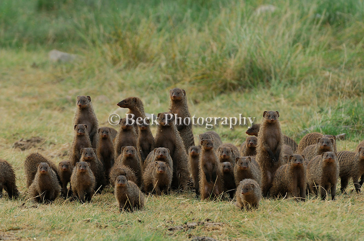 Meercats, a type of Mongoose, have tight bonds with pack members.
