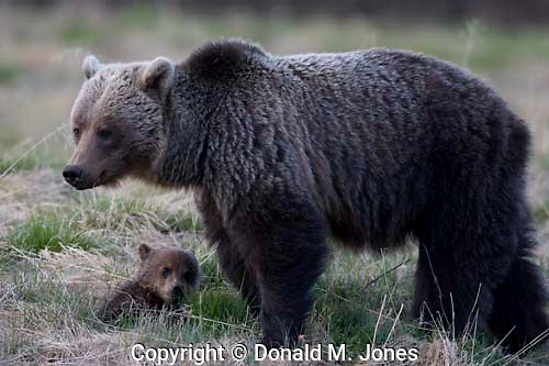 Grizzly Bear (Urus horribilis)