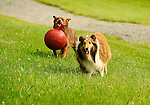 Nippenose Valley, Lycoming County, PA. English Shepherd and miniature collie...........................................