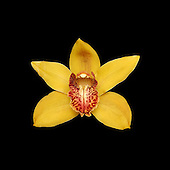 yellow cymbidium orchid on black background.<br />