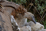 Carcass of dead adult Griffon Vulture laying on rocks.