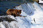 Brown bear, Brooks Falls, Katmai National Park, Alaska