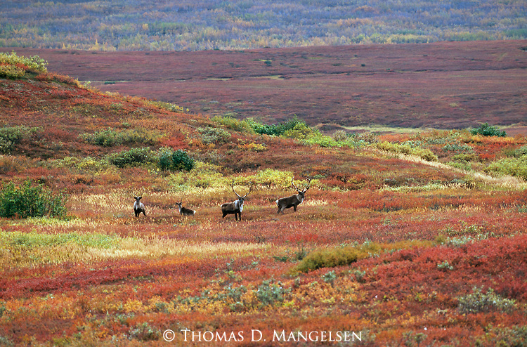 A small herd of caribou stand together in Denali National Park, Alaska.