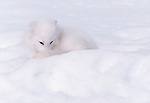 Using its long, bushy tail to keep its nose and feet warm while curling up to sleep, an arctic fox disappears in the snow except for a hint of its black eyes. Superbly adapted for life in subzero habitats, such as Nunavut, Canada, arctic foxes have white fur in the winter and gray-brown fur during summer, which provides effective camouflage throughout the year.