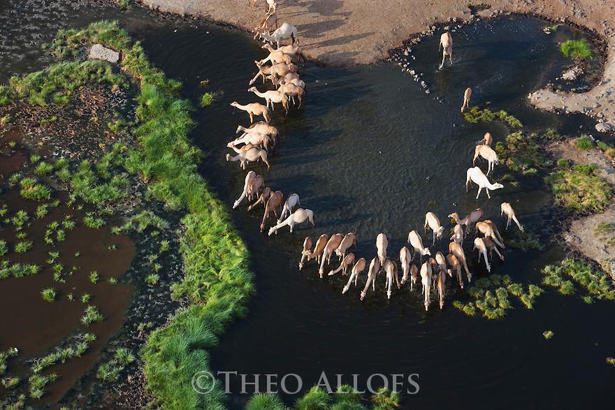 Kenya, Rift Valley, camels gathering to drink at oasis in flooded Chalbi Desert