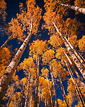 Autumn Aspen Groove,Lukachukai Mountain,Arizona