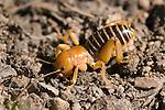 Jerusalem cricket, Stenopelmatus fuscus, Mount Diablo State Park, California