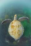 La Jolla Underwater Ecological Reserve, La Jolla Shores, La Jolla, California; a large, green sea turtle with algae on its shelll, swimming over the sea grass beds