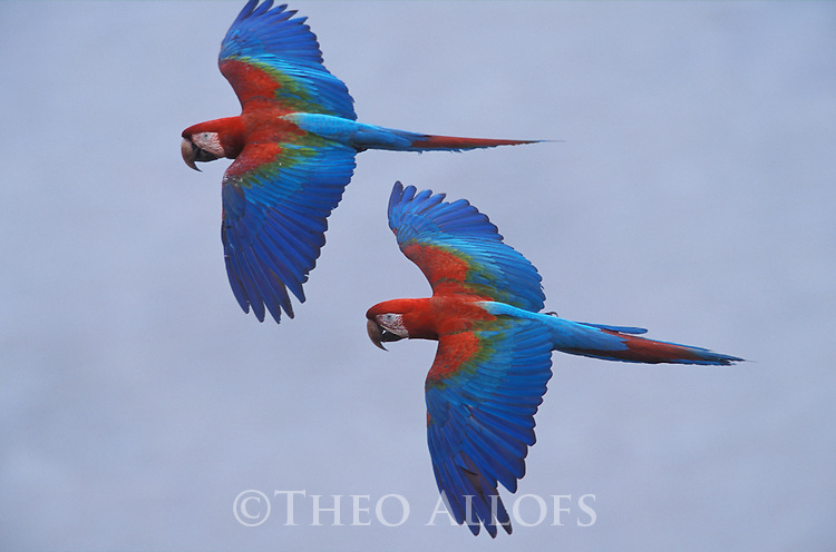 Red-and-Green Macaws flying over river; Peru, Tambopata River, Amazonia