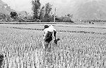 Woman planting rice planting in a paddy field in Ninh Binh, Vietnam