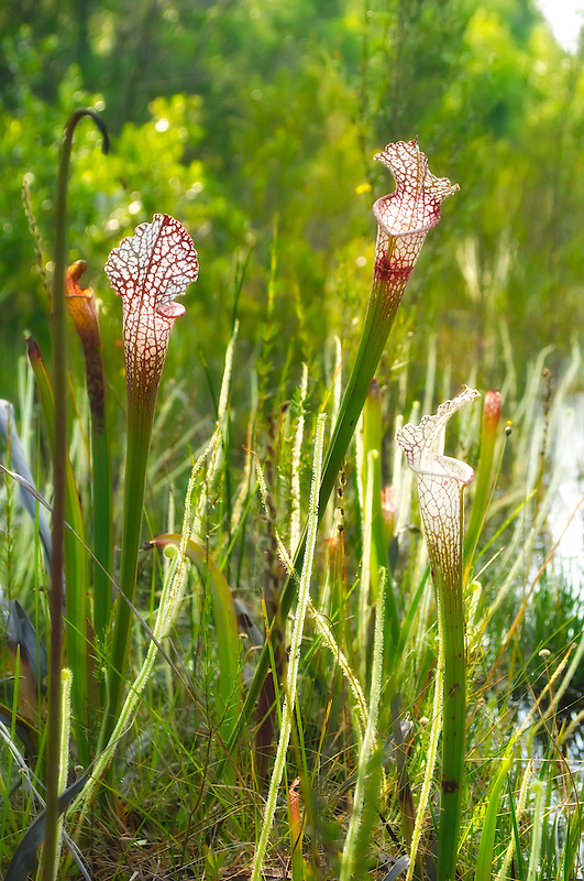 White-topped pitcher plants growing in a North Florida bog among a healthy population of threadleaf sundews - another carnivorous plant.