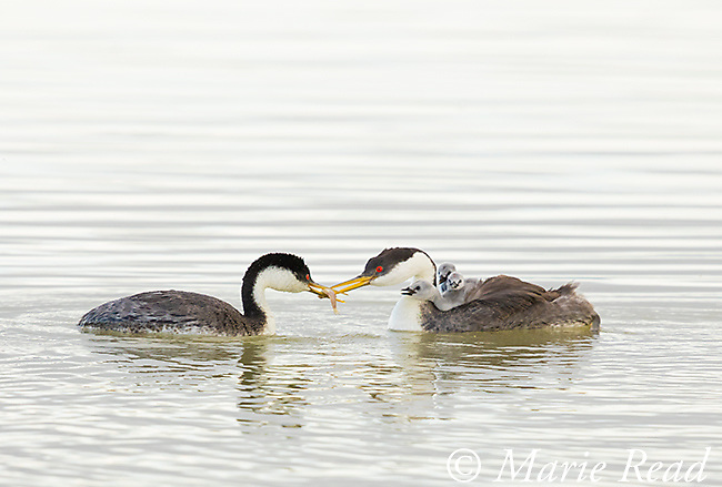 Western Grebe (Aechmophorus occidentalis), pair, one adult swims with fish to feed the chicks riding on the back of its mate, Bear River Migratory Bird Refuge, Utah, USA