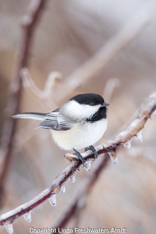 Black-capped chickadee perched on an ice-covered bramble in northern Wisconsin.