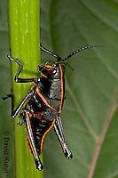 "0721-07nn  Eastern Lubber Grasshopper - Romalea guttata ""Nymph"" © David Kuhn/Dwight Kuhn Photography"