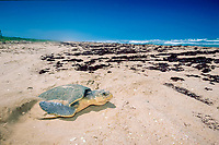 Kemp's ridley sea turtle, Lepidochelys kempii ( endangered ), covers nest after laying eggs, Rancho Nuevo, Mexico ( Gulf of Mexico ), Atlantic Ocean
