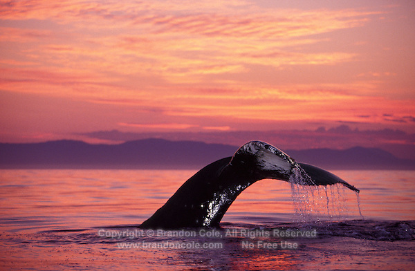 Photo MI-4. Humpback Whale (Megaptera novaeangliae) tail flukes at sunset. Alaska, USA, Pacific Ocean..Photo Copyright © Brandon Cole. All rights reserved worldwide.  www.brandoncole.com.This photo is NOT free. It is NOT in the public domain. This photo is a Copyrighted Work, registered with the US Copyright Office. .Rights to reproduction of photograph granted only upon payment in full of agreed upon licensing fee. Any use of this photo prior to such payment is an infringement of copyright and punishable by fines up to  $150,000 USD...Brandon Cole.MARINE PHOTOGRAPHY.http://www.brandoncole.com.email: brandoncole@msn.com.4917 N. Boeing Rd..Spokane Valley, WA  99206  USA.tel: 509-535-3489.
