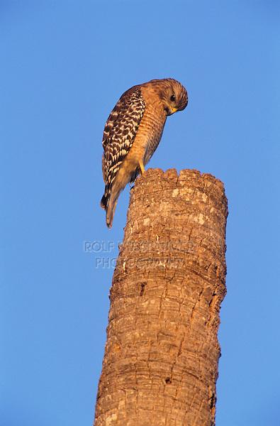 Red-shouldered Hawk, Buteo lineatus,adult on Palm Tree Stump, Sanibel Island, Florida, USA