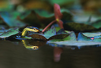 468500006 a wild arid lands ribbon snake thamnophis proximus diabolicus searches for minnows and tadpoles in a small pond in the rio grande valley in south texas united states