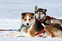 Middie Johnson dogs Bruce and Scotter rest on the snow at the Elim checkpoint during the 2010 Iditarod
