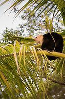 Honduras, Roatan Island, Fantasy Island Resort, Caribbean. Tourists playing with monkey.