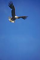 Bald Eagle (Haliaeetus leucocephalus) in flight.