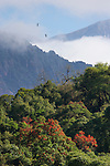 Swallow-tailed Kites display above the Yungas rainforest where Ceibo trees are in blossom.