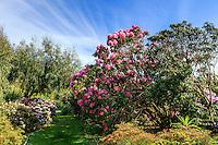 France, Manche (50), Vauville, Jardin botanique du château de Vauville, massif de rhododendrons, ici Rhododendron 'Britannia' à droite et rhododendrons yac à gauche (Rhododendron degronianum subsp. yakushimanum)
