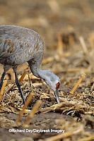 00882-02319 Sandhill Crane (Grus candensis) feeding in corn field near Kearney   NE